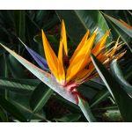 Bird of Paradise Seeds - Strelitzia Reginae