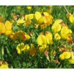Bird's Foot Trefoil Seeds - Lotus Corniculatus