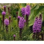 Blazing Star Gayfeather Seeds - Liatris Spicata