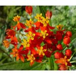 Blood Flower Scarlet Milkweed Seeds - Asclepias Curassavica