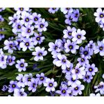 Blue Eyed Grass Seeds - Sisyrinchium Bellum