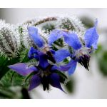 Borage Seeds - Borago Officinalis