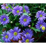 Brachycome Blue Splendor Seeds - Brachycome Iberidifolia