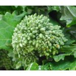 Broccoli Raab Spring Seeds - Brassica Rapa