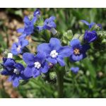 Bugloss Blue Angel Seeds - Anchusa Capensis