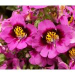 Butterfly Flower Seeds - Schizanthus x Wisetonensis Angel Wings