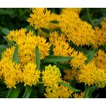 Butterfly Weed Hello Yellow Seeds - Asclepias Tuberosa