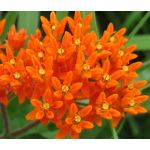 Butterfly Weed Orange Seeds - Asclepias Tuberosa