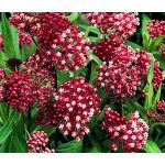Butterfly Weed Rose Seeds - Asclepias Incarnata