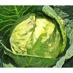 Cabbage Danish Ballhead Seeds - Brassica Oleracea