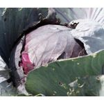Cabbage Red Acre Seeds - Brassica Oleracea