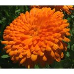 Calendula Orange King Seeds - Calendula Officinalis