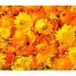 Calendula Pacific Beauty Seeds - Calendula Officinalis