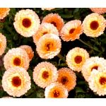 Calendula Pink Surprise Seeds - Calendula Officinalis