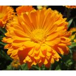 Calendula Pot Marigold Seeds - Calendula Officinalis