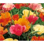 California Poppy Mission Bell Seeds - Eschscholzia Californica