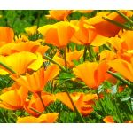 California Poppy Orange Bulk Seeds - Eschscholzia Californica