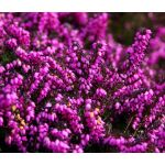 Calluna Scotch Heather Seeds - Calluna Vulgaris