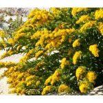 Canada Goldenrod Seeds - Solidago Canadensis