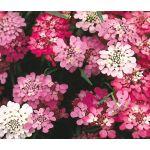 Candytuft Dwarf Seeds - Iberis Umbellata