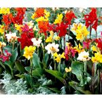 Canna Indica Mix Seeds - Canna Indica Hybrids