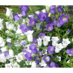 Canterbury Bells Cup and Saucer Mix Seeds - Campanula Medium