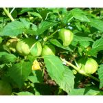 Cape Gooseberry Seeds - Physalis Peruviana