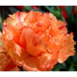 Carnation Chabaud Orange Seeds - Dianthus Caryophyllus