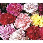 Carnation Chabaud Picotee Mix Seeds - Dianthus Caryophyllus