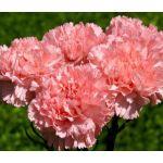 Carnation Grenadin Rose Seeds - Dianthus Caryophyllus