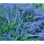 Catmint Blue Seeds - Nepeta Mussinii