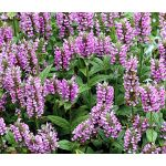 Catmint Pink Cat Seeds - Nepeta Nervosa