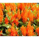 Celosia Nana Glitters Orange Seeds - Celosia Plumosa