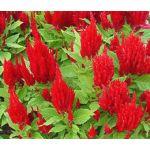 Celosia Nana Glitters Scarlet Seeds - Celosia Plumosa