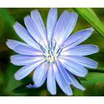 Chicory Seeds - Cichorium Intybus
