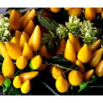 Chili Pepper Ornamental Goldfinger Seeds - Capsicum Annuum