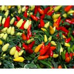 Chili Pepper Ornamental Prairie Fire Seeds - Capsicum Annuum