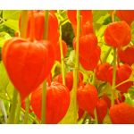 Chinese Lantern Seeds - Physalis Alkekengi