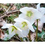 Christmas Rose Seeds - Helleborus Niger
