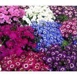 Cineraria Hybrids Mix Seeds - Cineraria Cruentus Amigo