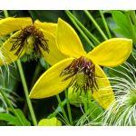 Clematis Golden Seeds - Clematis Tangutica Aztek