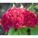 Cockscomb Carmine Dwarf Seeds - Celosia Cristata Nana Jessica