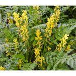 Corydalis Ferny Seeds - Corydalis Cheilanthifolia
