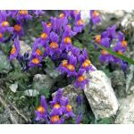 Alpine Toadflax Seeds - Linaria Alpina