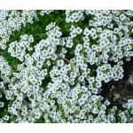 Alyssum Sweet Seeds - Lobularia Maritima