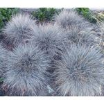 Blue Fescue Seeds - Festuca Glauca Varna