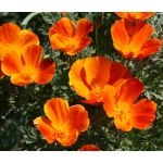 California Poppy Mikado Seeds - Eschscholzia Californica