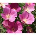 California Poppy Purple Gleam Seeds - Eschscholzia Californica
