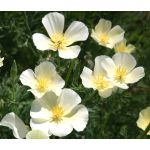 California Poppy White Seeds - Eschscholzia Californica