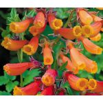 Chilean Glory Vine Mix Seeds - Eccremocarpus Scaber